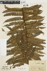 Nephelea erinacea image