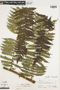 Nephelea mexicana image