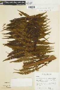 Sphaeropteris elongata image
