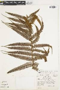 Sphaeropteris myosuroides image