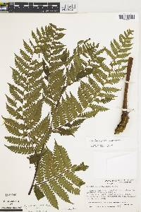 Trichipteris nigripes image