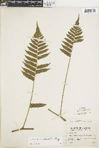 Cyathea schiedeana image