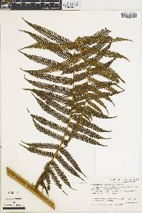 Cyathea bicrenata image