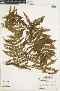 Cyathea villosa image