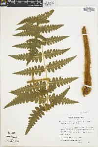 Blotiella lindeniana image