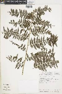 Dennstaedtia werckleana image