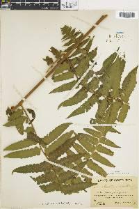 Dennstaedtia arborescens image