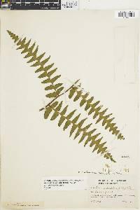 Dennstaedtia coronata image