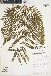 Dennstaedtia obtusifolia image