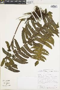 Dennstaedtia wercklei image