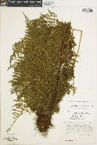 Hypolepis hostilis image