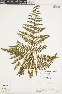 Hypolepis pulcherrima image
