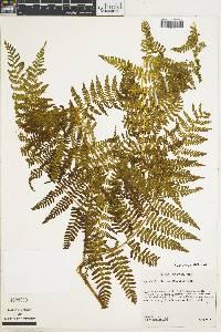 Hypolepis viscosa image
