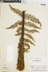 Dicksonia gigantea image