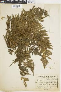 Dicksonia karsteniana image