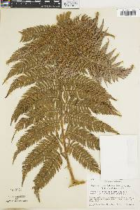 Lophosoria quadripinnata image