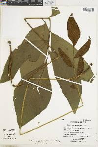 Bolbitis pergamentacea image