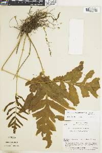 Bolbitis portoricensis image