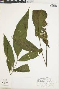 Bolbitis nicotianifolia image