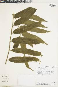 Bolbitis serratifolia image