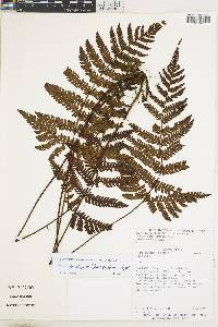 Ctenitis hemsleyana image