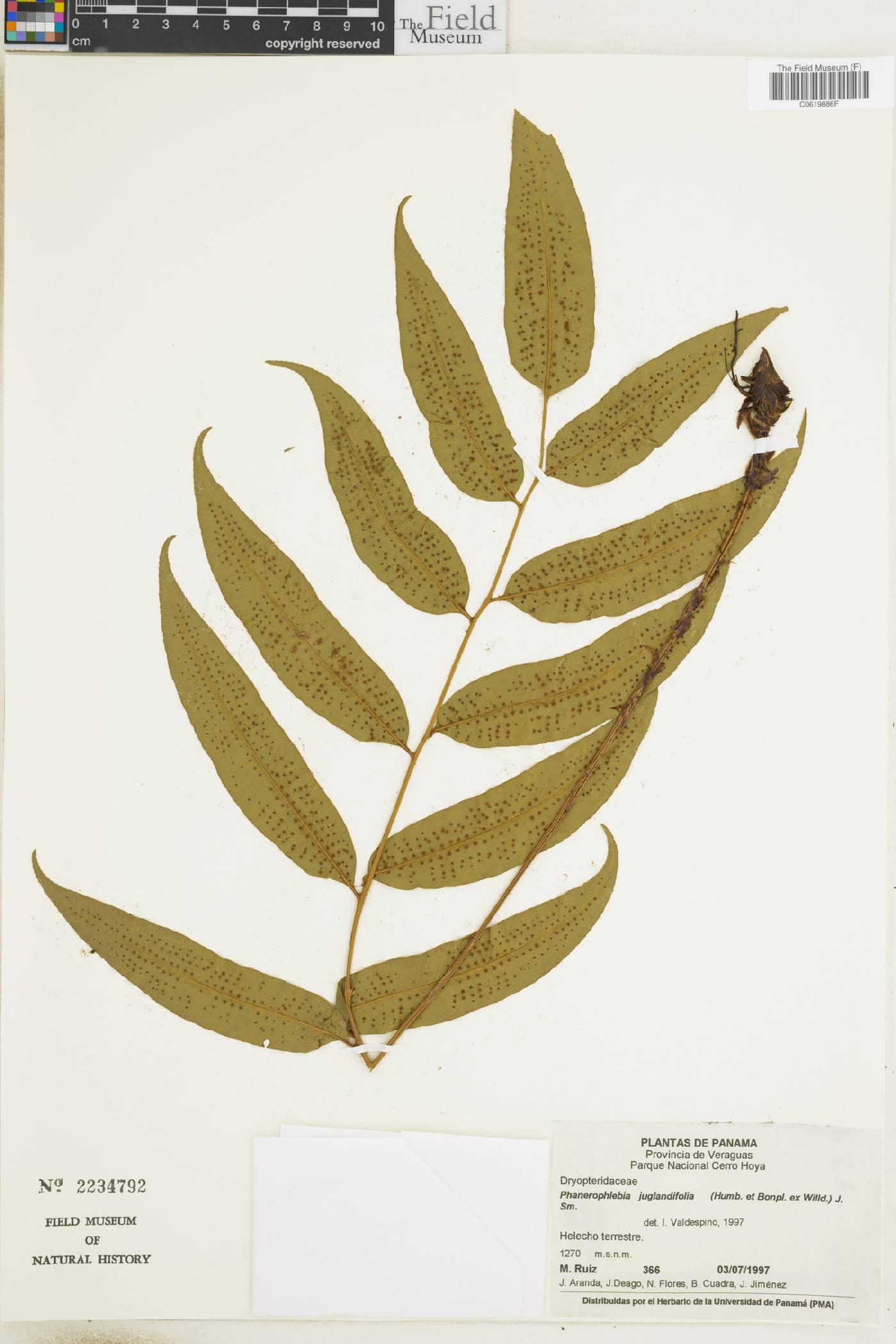 Cyrtomium juglandifolium image