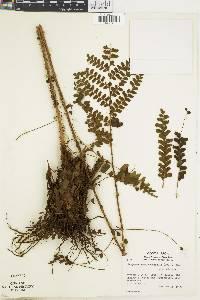 Didymochlaena truncatula image