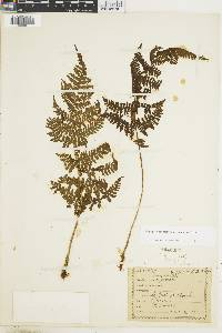Dryopteris nubigena image