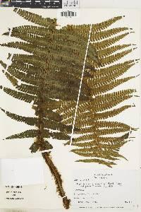 Dryopteris parallelogramma image