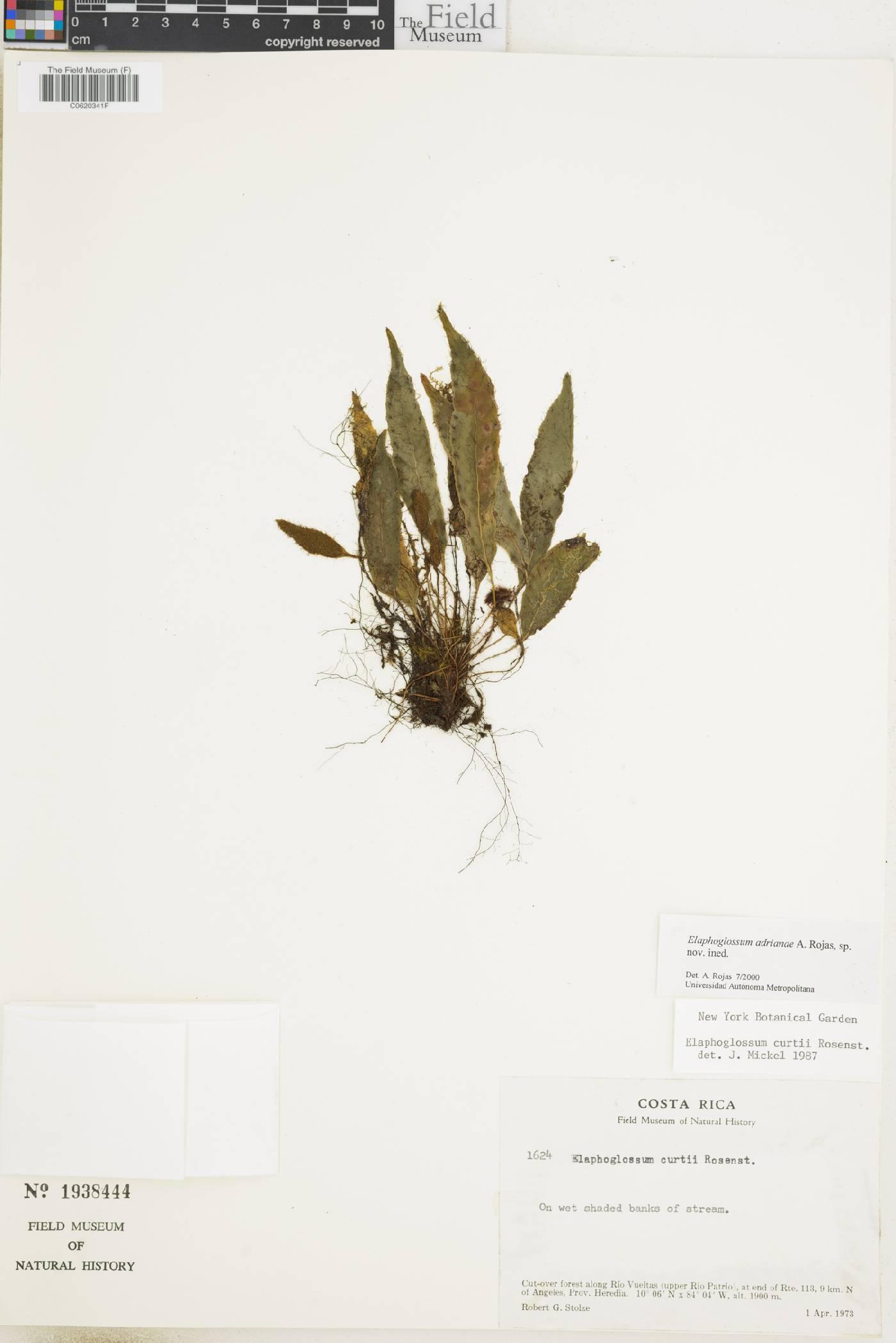 Elaphoglossum adrianae image