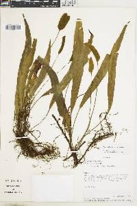 Elaphoglossum alfredii image