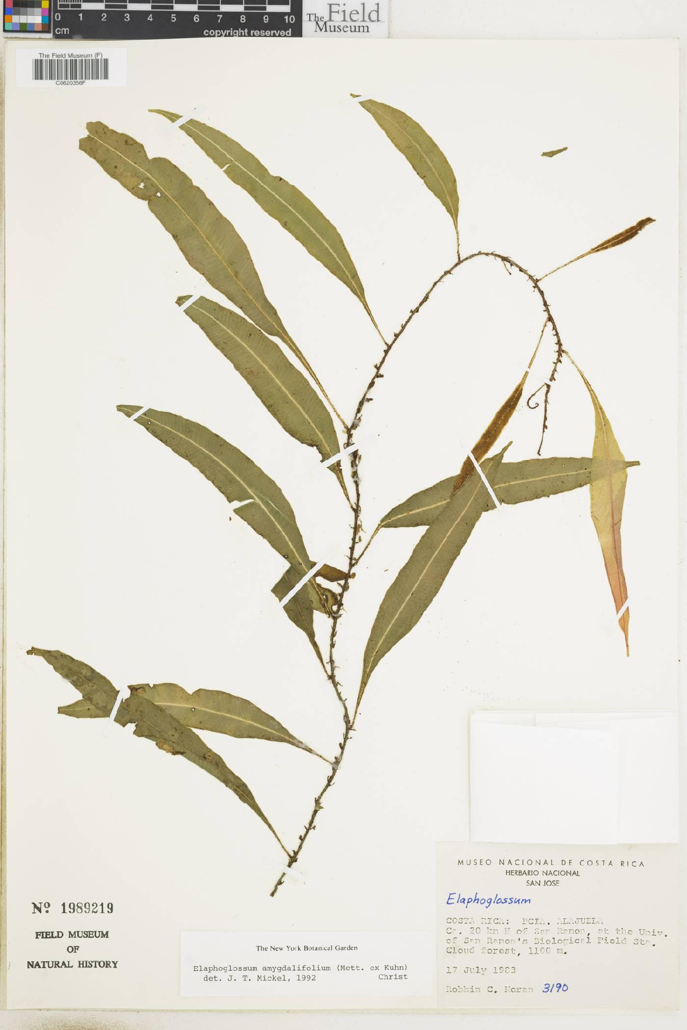 Elaphoglossum amygdalifolium image