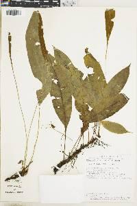 Elaphoglossum biolleyi image