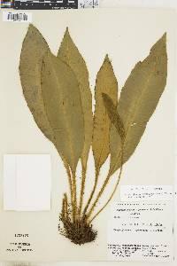 Elaphoglossum boragineum image