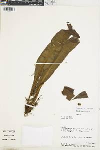 Elaphoglossum brevissimum image