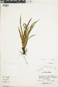 Elaphoglossum caricifolium image
