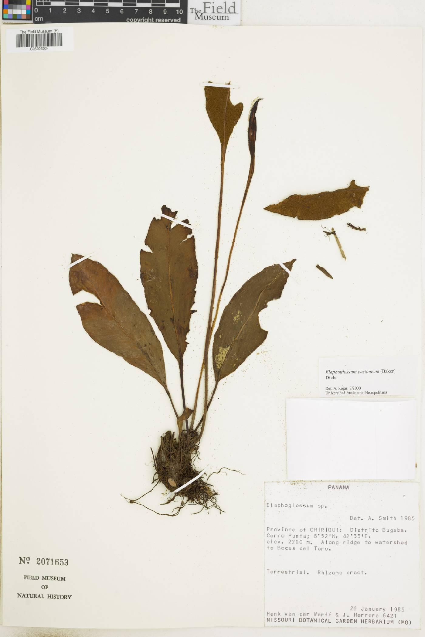 Elaphoglossum castaneum image
