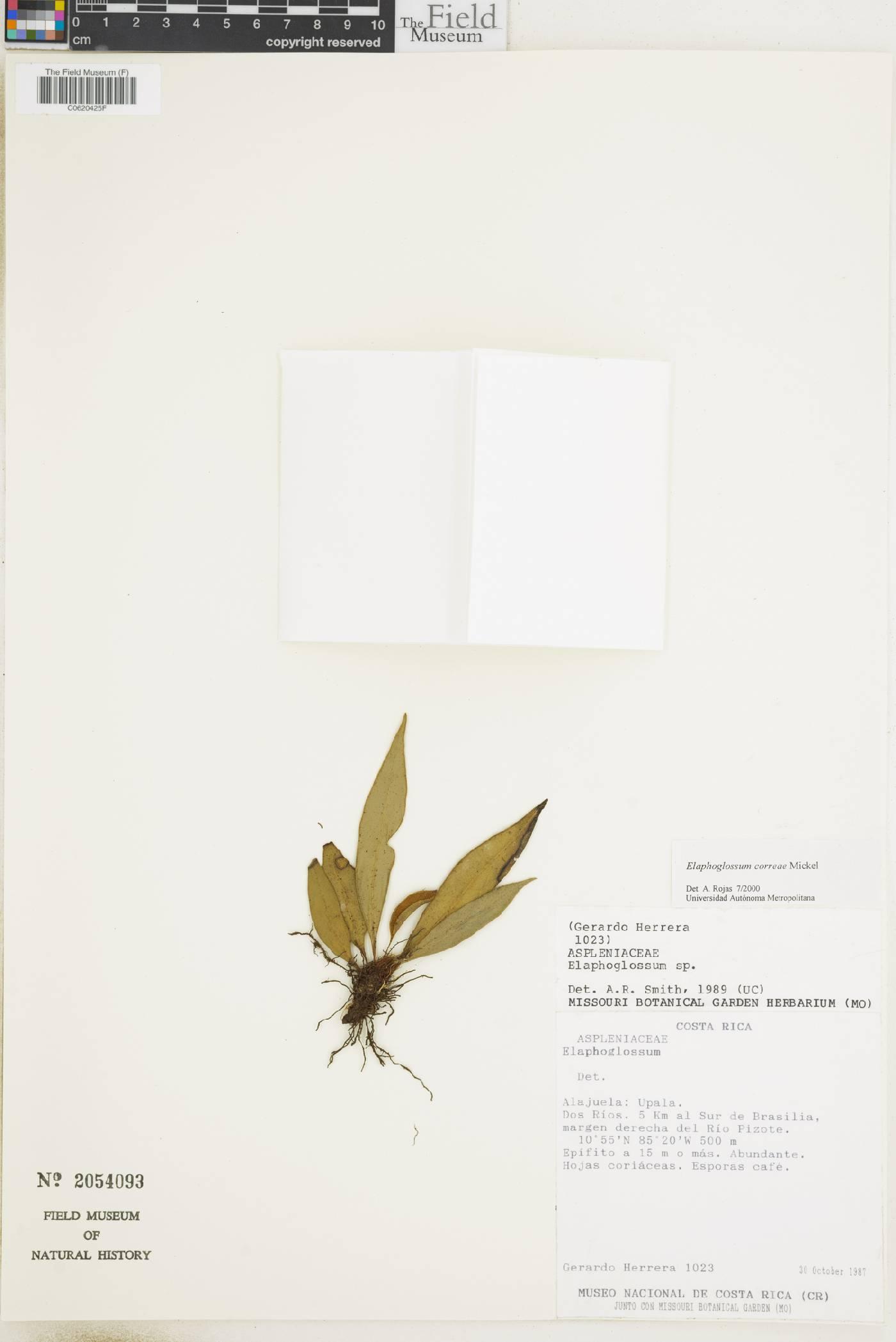 Elaphoglossum correae image