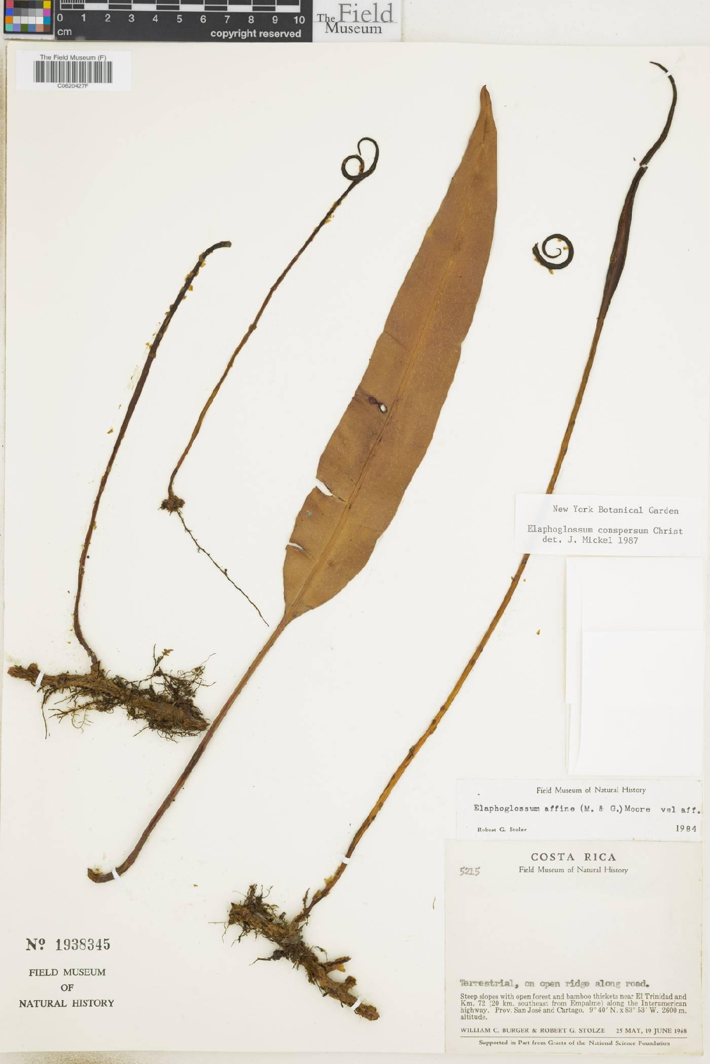 Elaphoglossum conspersum image