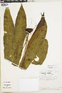 Elaphoglossum croatii image
