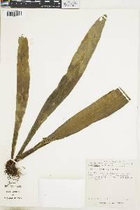 Elaphoglossum doanense image