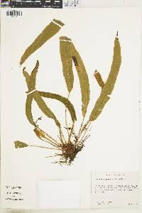 Elaphoglossum eximiiforme image