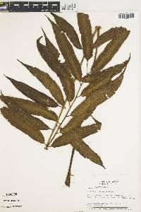 Cyathea williamsii image