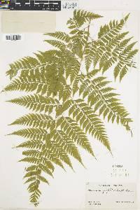 Maxonia apiifolia image