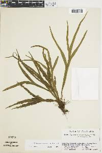 Dicranoglossum panamense image