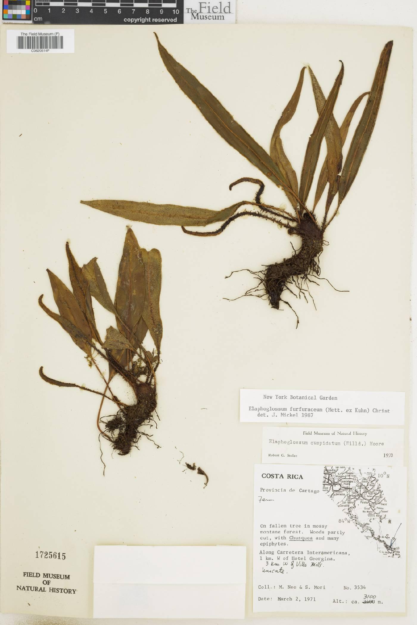 Elaphoglossum furfuraceum image