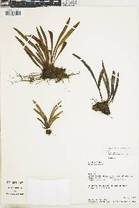 Elaphoglossum glabellum image