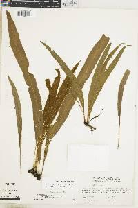 Elaphoglossum grayumii image
