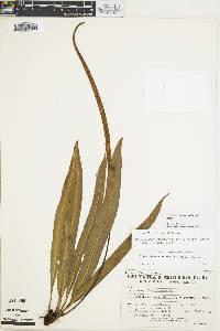 Elaphoglossum hammelianum image