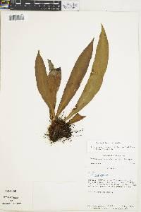Elaphoglossum herminieri image